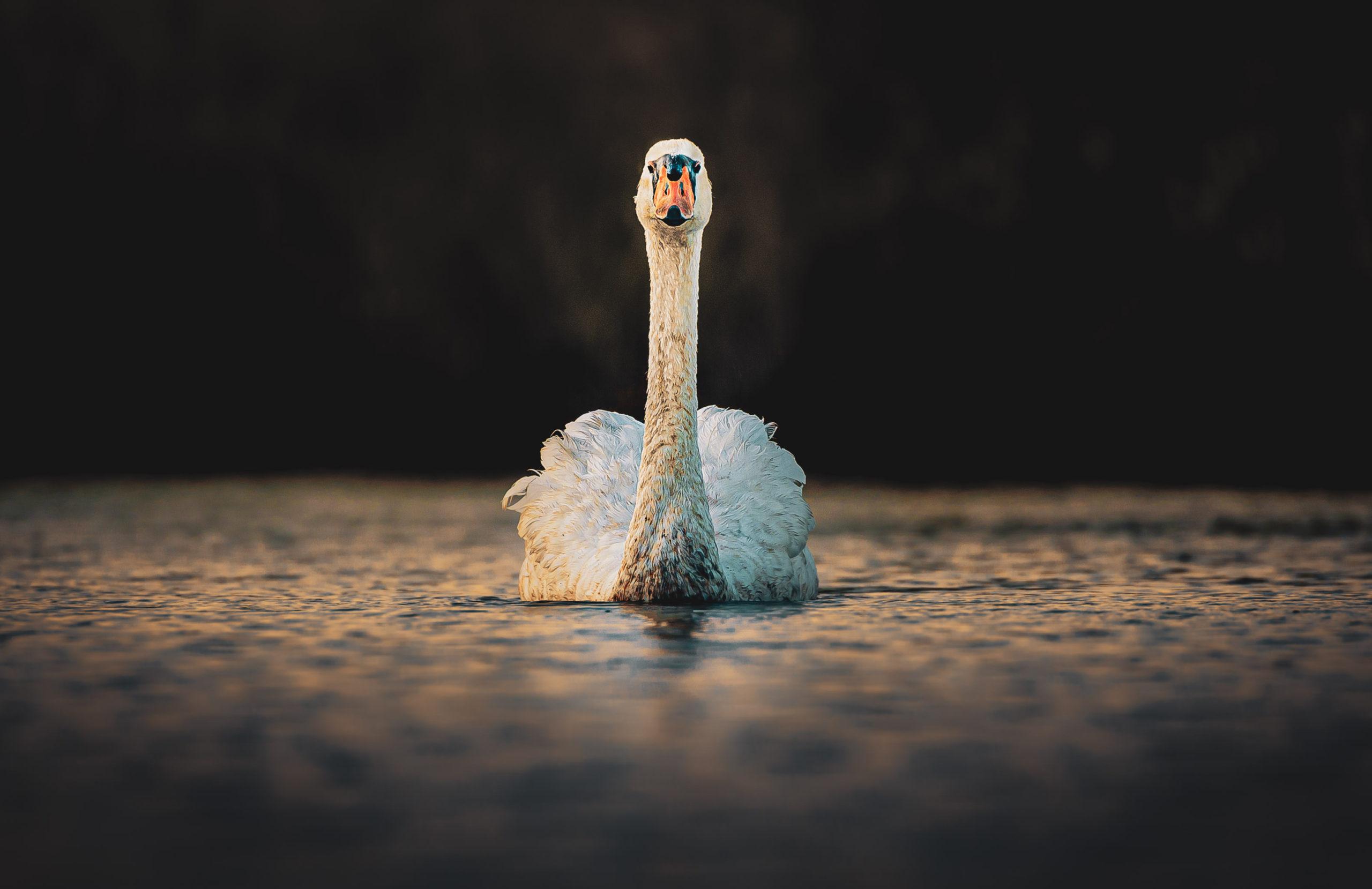 Head-Swan