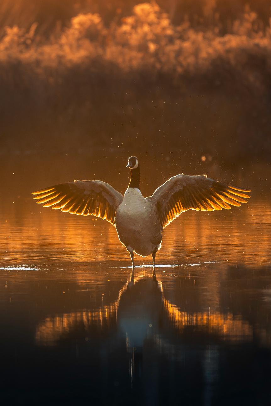 Sunset's Goose2