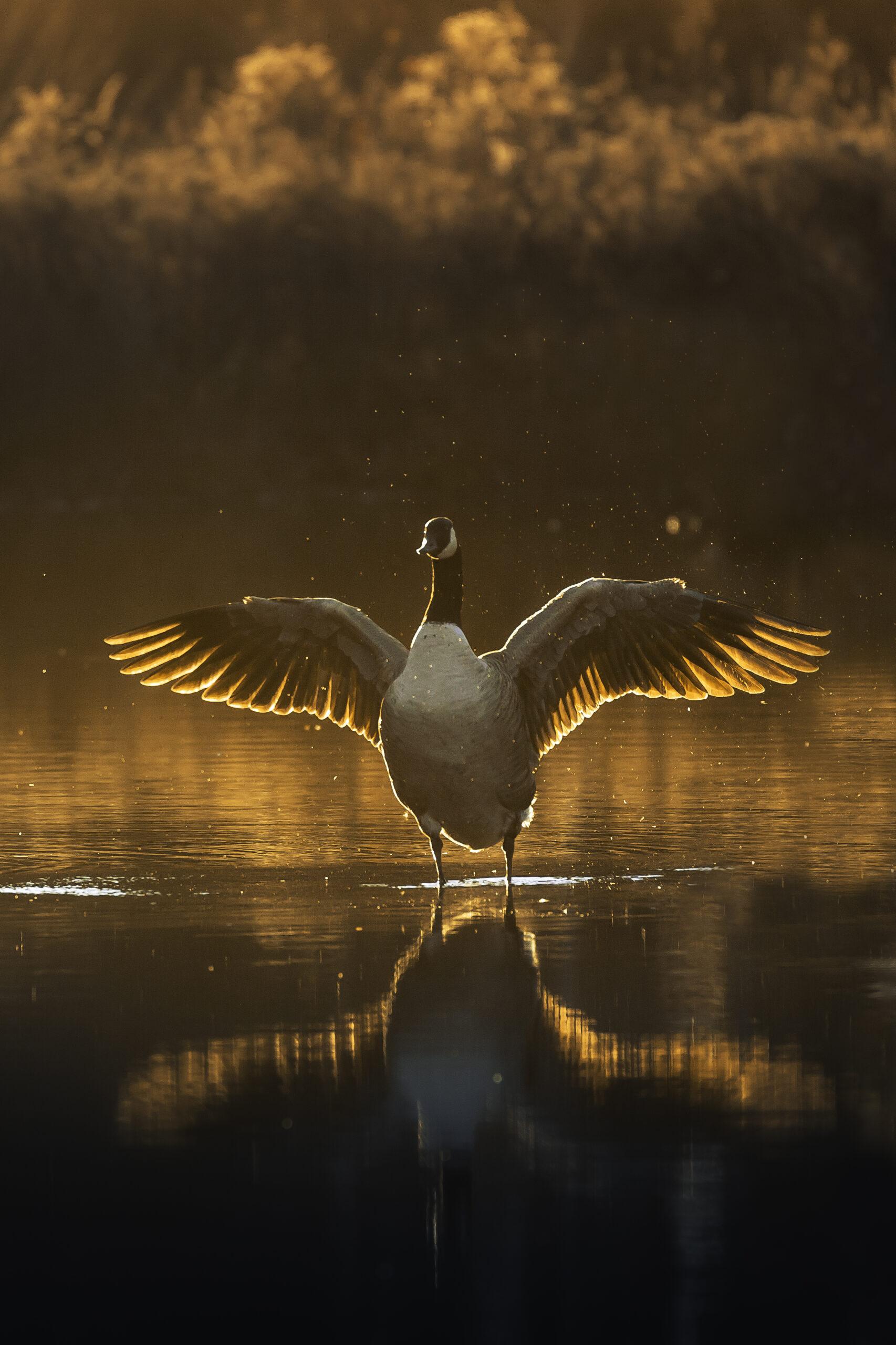 Sunset's Goose